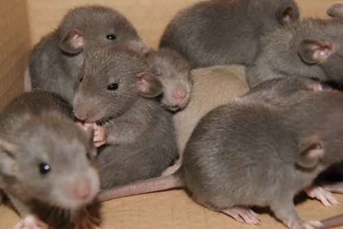 Image result for rat pups photos