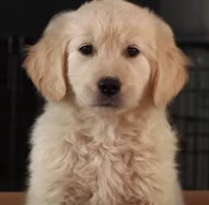 golden puppy no daddy