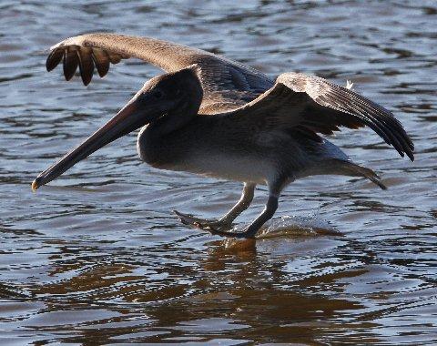 fbaker pelican